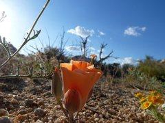 Rock Climbing Photo: Desert Mariposa Lily (Calochortus kennedyi), Joshu...