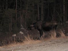 Rock Climbing Photo: moose, or four-legged bigfoot... you decide.