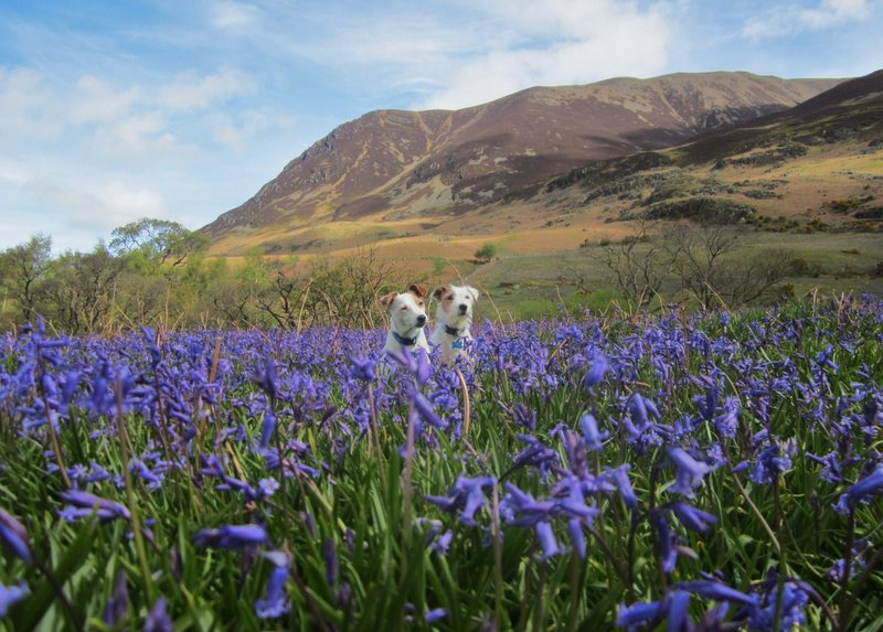 Bluebells . Crummock Water Lake District May 14th 2015