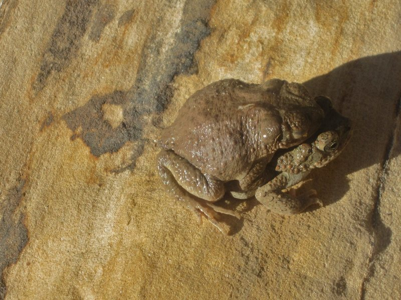 Desert toads in love. Two Finger Canyon