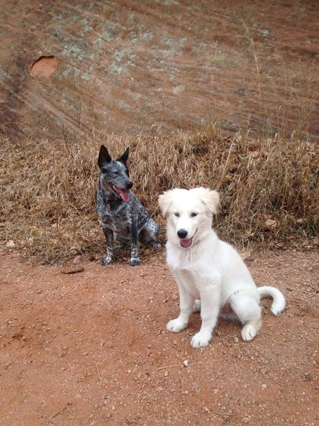 Ghost (the Blue/Red Heeler) and Orbit GoboTRON Megablast perusing routes on an investigatory climbing area behavior hike.