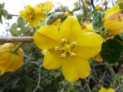 Rock Climbing Photo: Flannel Bush (Fremontodendron californicum), San B...