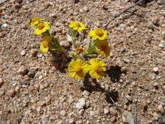 Rock Climbing Photo: Wallace's Eriophyllum (Eriophyllum wallacei) near ...