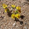 Wallace's Eriophyllum (Eriophyllum wallacei) near Watergate Rock, Joshua Tree NP