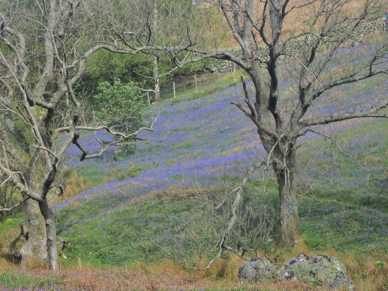More Bluebells in the Buttermere Valley