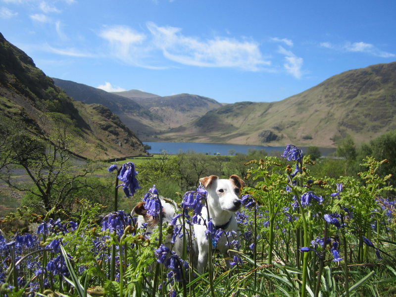 Rock Climbing Photo: Bluebells over Crummockwater