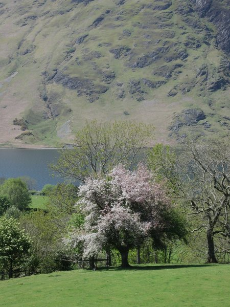 Blossom in the Buttermere Valley