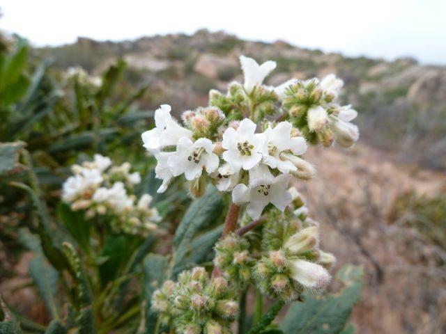 Yerba Santa (Eriodictyon californicum), San Bernardino Mountains