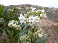 Rock Climbing Photo: Yerba Santa (Eriodictyon californicum), San Bernar...