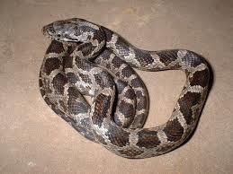 Rock Climbing Photo: Rat Snake
