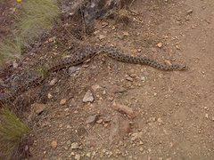 Rock Climbing Photo: Gopher Snake