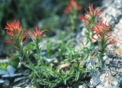 Castilleja martinii (clokeys paint brush): another plants species classified on the sensitive list