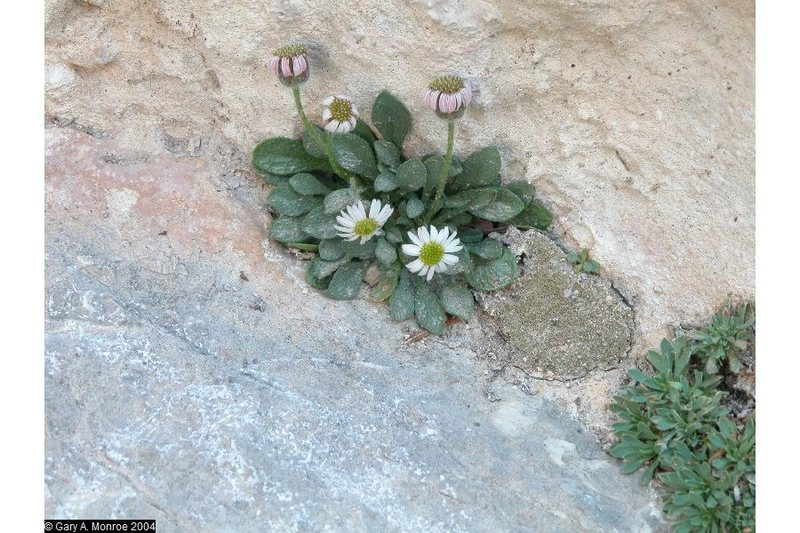 Erigeron uncialis ssp, conjugans (inch high fleabane): on the classified sensitive plant list and found often in wet areas on the rock faces.  I have also seen a variety with tiny yellow flowers.