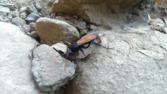 Critters of the Tor: The tarantula hawk boasts the second most painful insect sting in the world. <br /><a href='https://en.wikipedia.org/wiki/Tarantula_hawk' target='_blank' rel='nofollow' >en.wikipedia.org/wiki/Tarantul...</a>