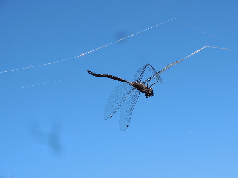 A beautiful Dragonfly suspended by a spider's web above the Saddle Peak Trail.