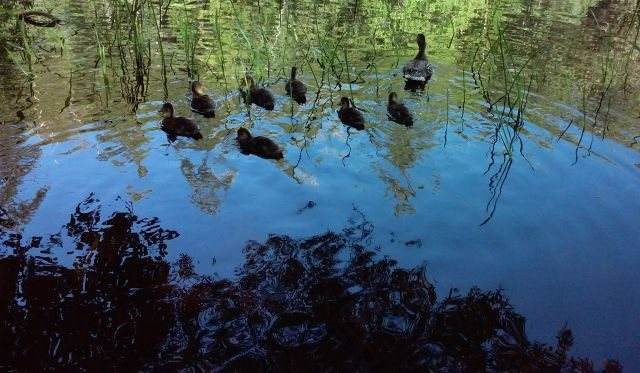 Ducks at Lake Fulmor, San Jacinto Mountains