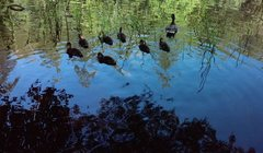 Rock Climbing Photo: Ducks at Lake Fulmor, San Jacinto Mountains