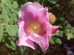 Rock Climbing Photo: Wild Rose (Rosa californica), San Jacinto Mountain...