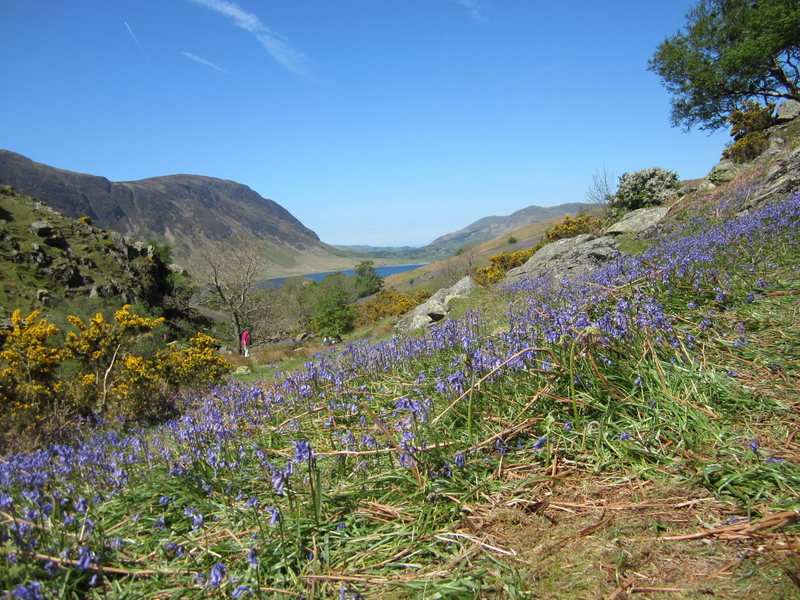 Bluebells Rannerdale Crummock Water Buttermere
