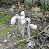 Monotropa Uniflora.  Ghost Plant.  Indian Pipe.  Corpse Plant.  No Chlorophyll.  Parasitic to some trees and some fungus.  Found down below the East Bluff along boulder field right off the trail.