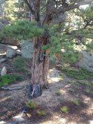 Rock Climbing Photo: The big anchor tree.