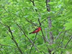 Rock Climbing Photo: Bright red Scarlet Tanager bird, seen at Seneca Ro...