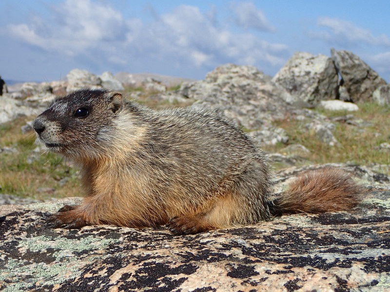 Baby marmot wanting snacks at the col.