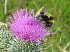 Rock Climbing Photo: Bumble Bee on Scottish Thistle