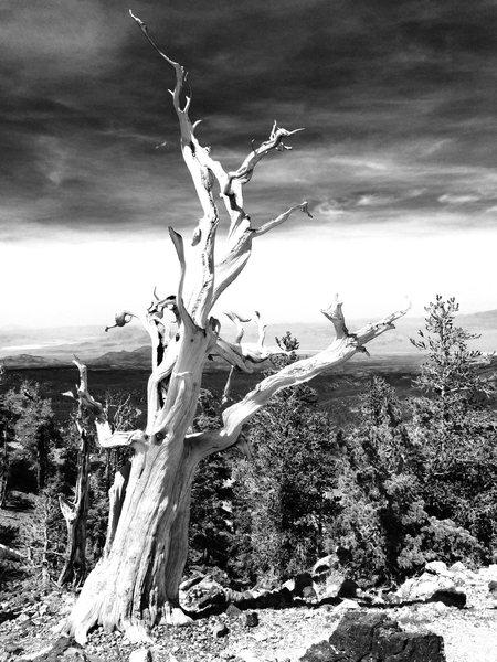 Bristlecone Pine, Mt. Charleston NV 10,000'+