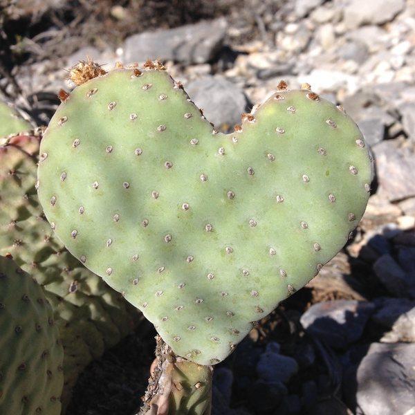 Even the cacti love Clark Mountain
