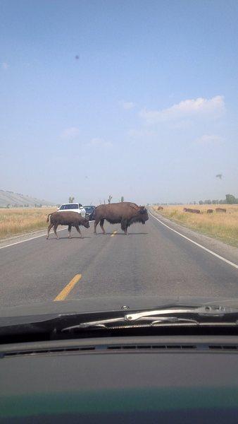 Buffalo in GTNP