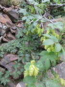 Rock Climbing Photo: Hops growing wild in Clear Creek Canyon.