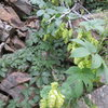 Hops growing wild in Clear Creek Canyon.