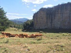 Rock Climbing Photo: Cows!