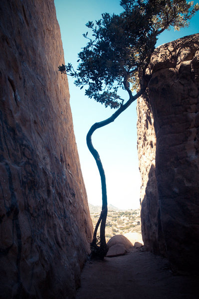 Rock Climbing Photo: The iconic Mozart Wall tree.  Update: Knocked down...