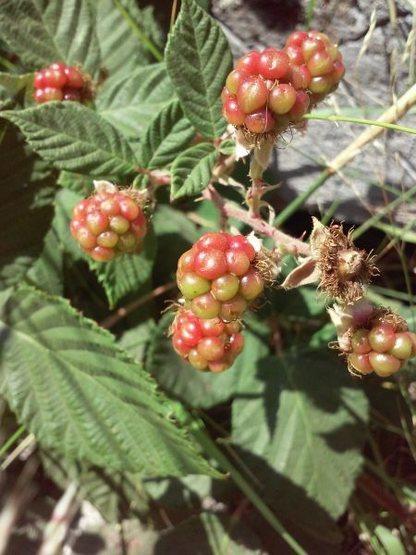 Wild Blackberry (Rubus ursinus), Thurman Flat