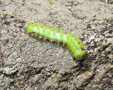 Rock Climbing Photo: Seen one of these? Io Moth Caterpillar. Just havin...