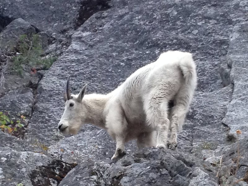 Look for the goats to find the base of the route.