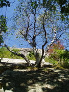Rock Climbing Photo: Triple Trunked Birch tree on right margin of the s...