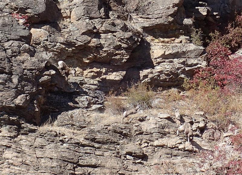 Rock Climbing Photo: California Bighorn (showing how mtn. sheep do it)