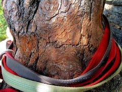 Rock Climbing Photo: Bark abraded by slings