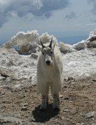 Rock Climbing Photo: goat