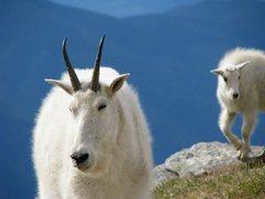 Rock Climbing Photo: Goats at the base of Mt Gimli