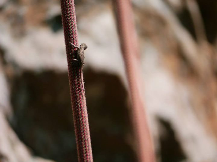 Rock Climbing Photo: Tiny hitch hiking lizard at Sam's Throne wanted an...