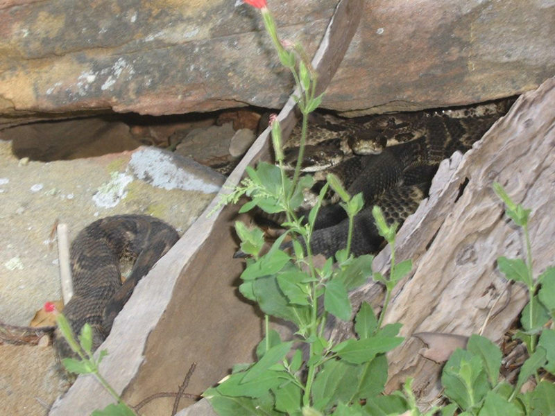 Rock Climbing Photo: Big South Fork rattle snake den.  Photo by Jeff No...