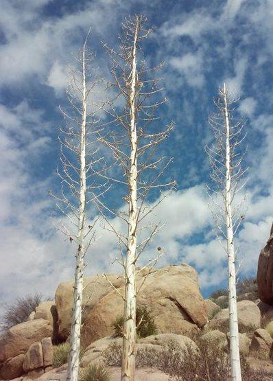 Rock Climbing Photo: Giant Nolina (Nolina parryi), High Desert