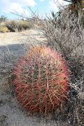 Rock Climbing Photo: A nice barrel cactus (Ferocactus cylindraceus), Jo...
