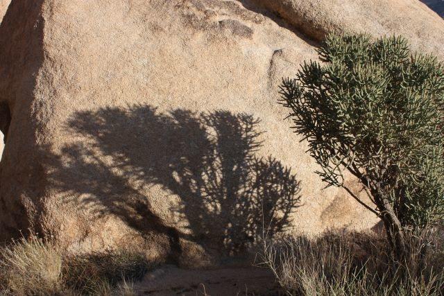 Pencil Cholla (Cylindropuntia ramosissima) and shadow, Joshua Tree NP