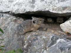 Rock Climbing Photo: Pika, spotted in Grand Teton NP.
