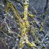 Lichen on oak, Wildwood Canyon SP